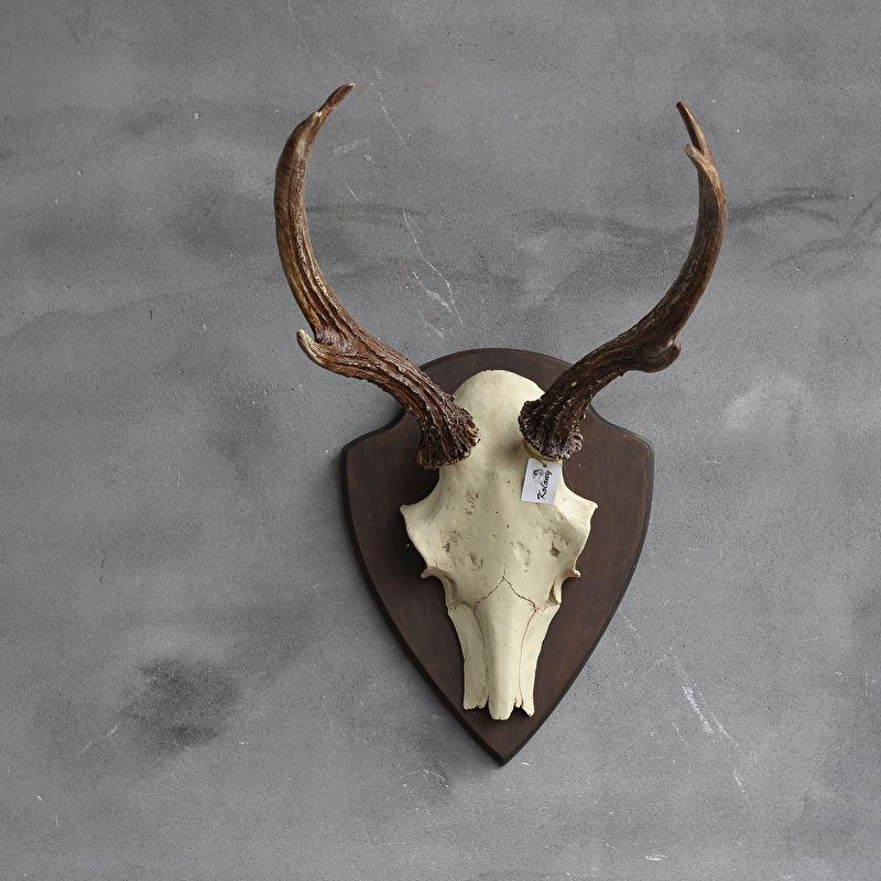 Beelden schedels geweien schedel met gewei hert op for Gewei schedel