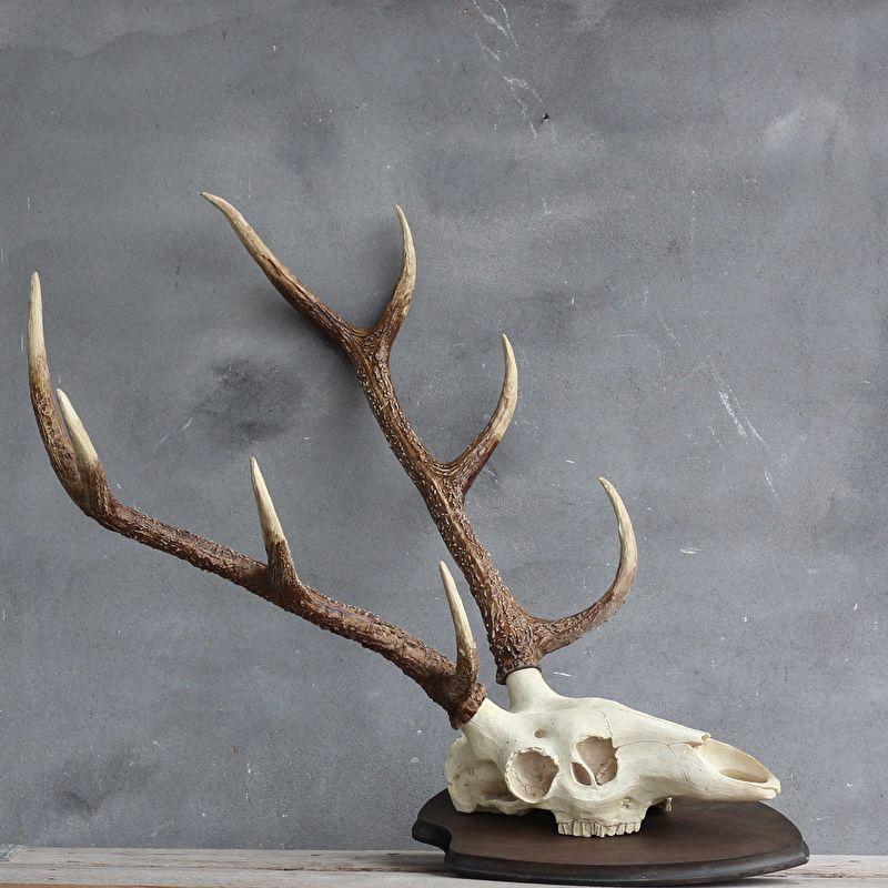 Beelden schedels geweien schedel met gewei hert xl for Gewei kunststof
