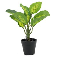 philodendron imperial in pot